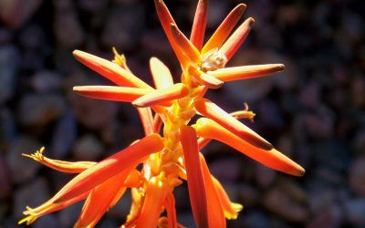 Winter Blooming Plants in San Diego