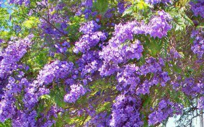 San Diego's Purple Trees