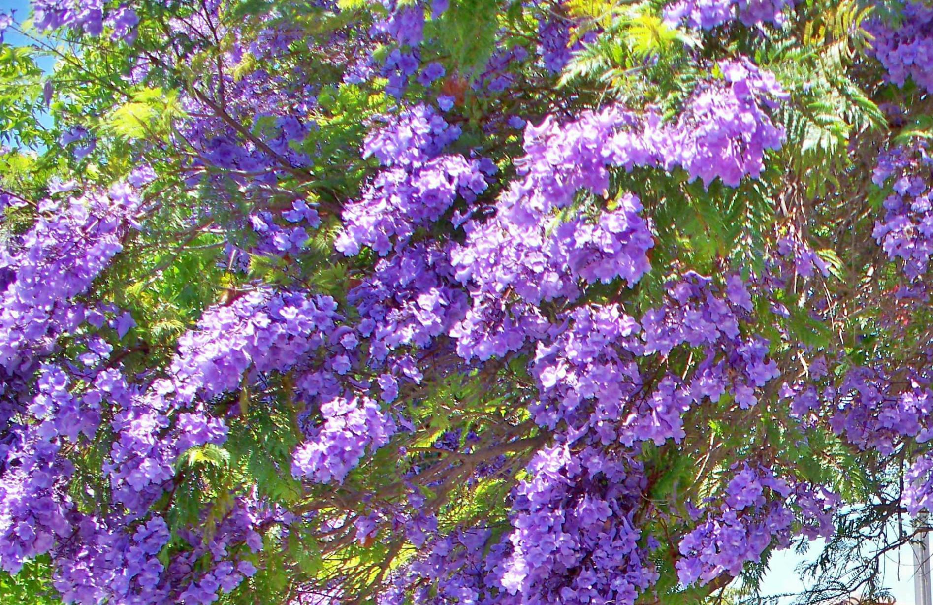 Purple Trees San Diego