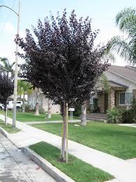 bronze plum