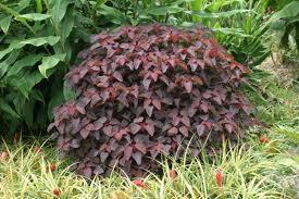 euphobia contifolia
