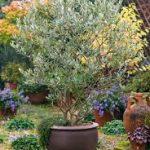 Majestic Beauty Olive