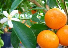 dwarf citrus