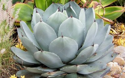 Succulent Garden Ideas for San Diego