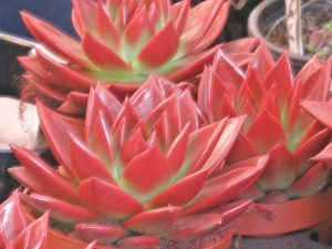 New Plants for Landscaping in 2016 Echeveria_agavoides_Red_New